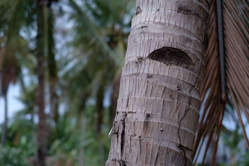 There are notches cut out of the coconut trees so they can climb up them to harvest the coconuts