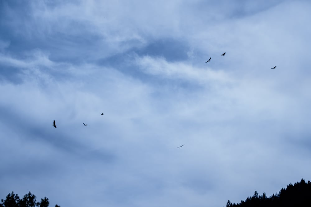 I watched these massive turkey vultures circle around for ages